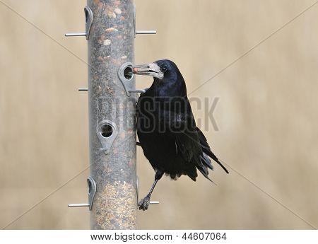 Rook on bird feeder