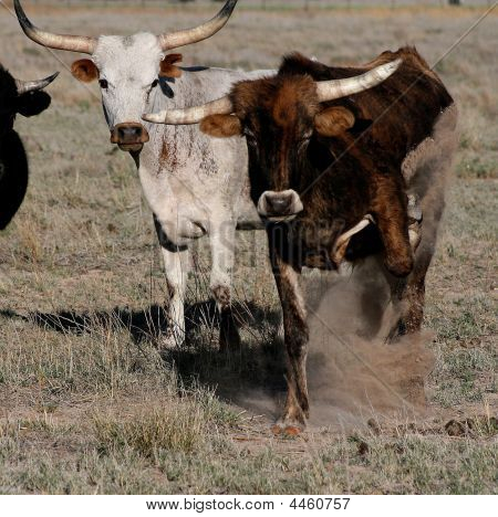 Pissed Off Longhorn