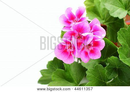 Pink Geranium - Pelargonium With Leaves.