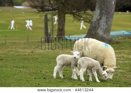 The English Countryside - Lambs, Sheep And Cricket