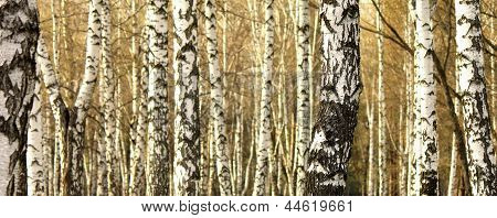 Birch tree forest, natural background, birches