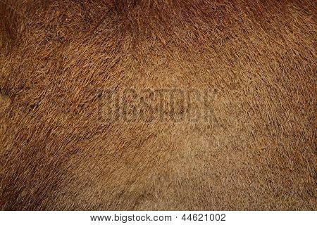 Wild Boar Pelt