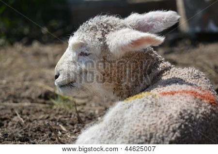 A Scruffy Young Romney Lamb With Big Ears