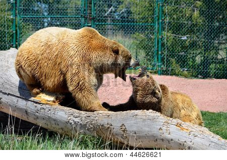 Bear Battle