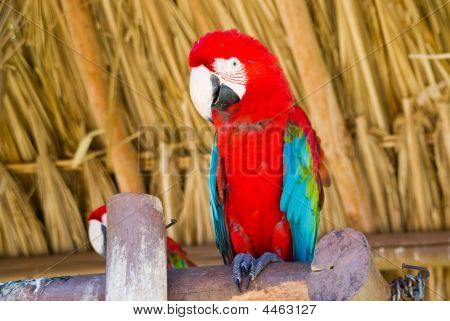Rote ara