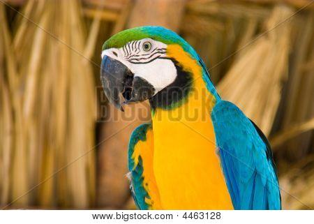 Gelbe Ara mit blue wings