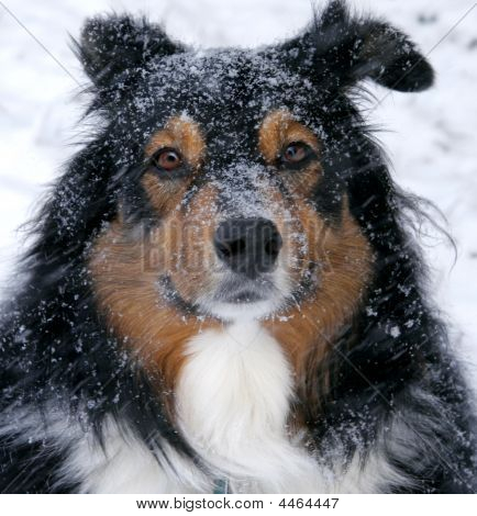 Australian Shepherd In The Snow