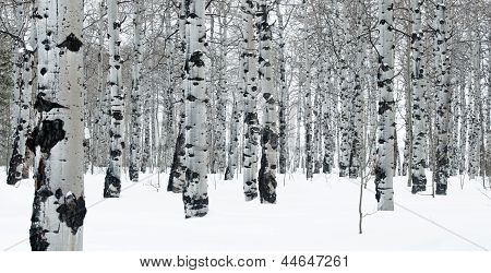 Winter Day In An Aspen Grove