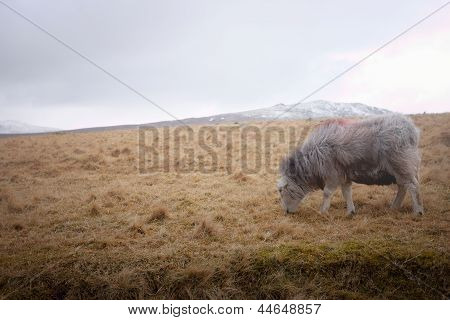 A Sheep On The Moors