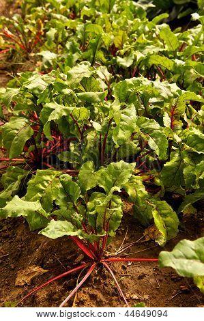Leafy Green Beet Plants In Garden