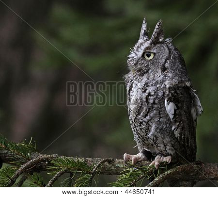 Perched Screech Owl