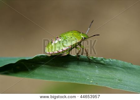 Heteroptera Pentatomidae Palomena