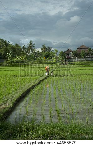 Bali Rice Farmer Tending His Paddies