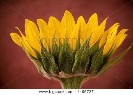 Yellow Sunflower Blossom