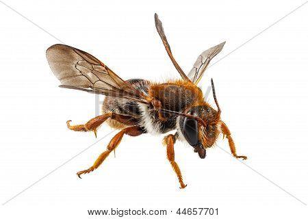 Bee Species Anthidium Sticticum Common Name Mason Or Potter Bee