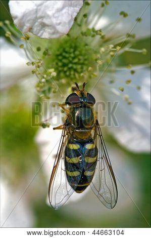 Diptera Syrphidae Volucella