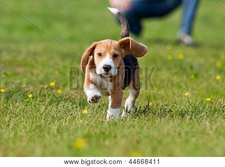 Running Beagle Puppy At The Walk