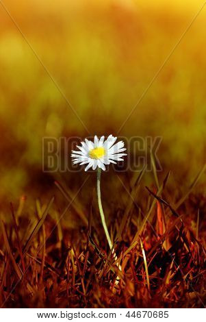 Daisy In Scorched Grass