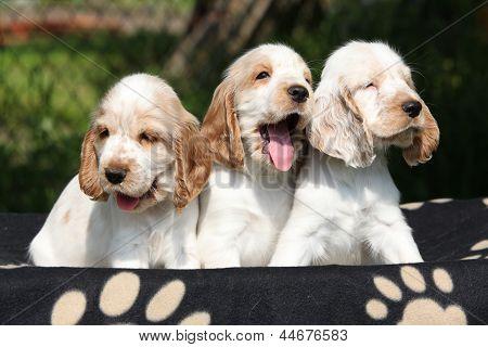 Gorgeous English Cocker Spaniel Puppies Sitting