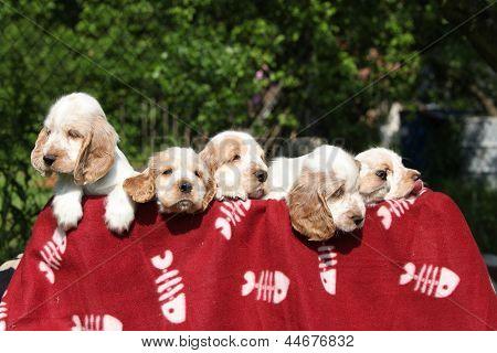 Gorgeous English Cocker Spaniel Puppies