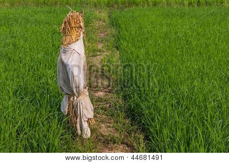 Scarecrow In Paddy