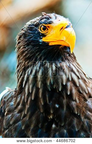 Portrait Steller (Pacific) Eagles in the Novosibirsk Zoo
