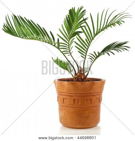 palm tree in clay flowerpot on white background