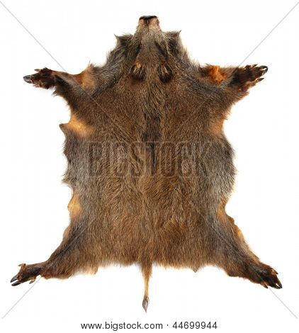 Wild boar (Sus scrofa) skin isolated on a white background.