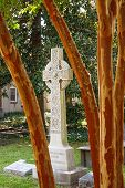 stock photo of crepe myrtle  - A white stone cross on a headstone beyond trunks of crepe myrtle tree - JPG