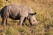Rhino Standing In Nature Calf