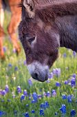 stock photo of wild donkey  - Early evening photo of a donkey in a field of Texas bluebonnets - JPG