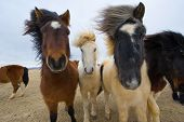 pic of herd horses  - Icelandic horses with different colors are standing in a field