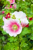 stock photo of hollyhock  - Hollyhocks flower in the garden with leaf - JPG