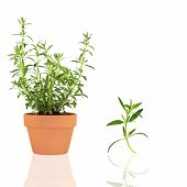 stock photo of hyssop  - Hyssop herb growing in a terracotta pot with specimen leaf sprig isolated over white background with - JPG