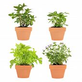 picture of potted plants  - Herb selection of chocolate mint bergamot feverfew and catmint growing in four terracotta pots over white background - JPG