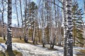 stock photo of birchwood  - Birchwood and thawed snow in the spring - JPG