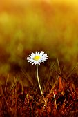 image of survival  - A Spring daisy emerging from grass that has been tinted to appear as a scorched wasteland - JPG
