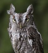 picture of screech-owl  - A close - JPG