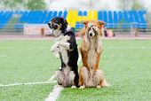 stock photo of collie  - two border collie dogs show trick in the stadium in the rain - JPG