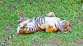 picture of tiger eye  - Tiger - JPG
