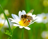 stock photo of chamomile  - Bee on the chamomile flower - JPG