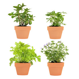 foto of feverfew  - Herb selection of chocolate mint bergamot feverfew and catmint growing in four terracotta pots over white background - JPG