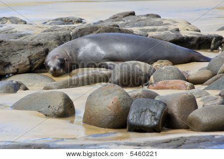 Fur Seal Napping