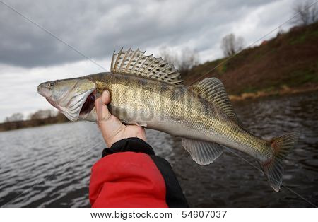 Walleye in fisherman's hand caught on cloudy autumn day