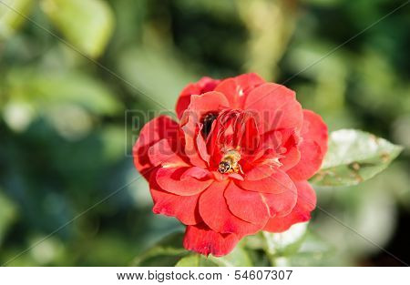 Honeybee On Red Rose