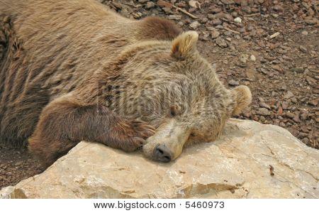 Animal Park - Brown Bear Close Up