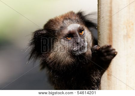Black Lion Tamarin hung on a post with blurred background
