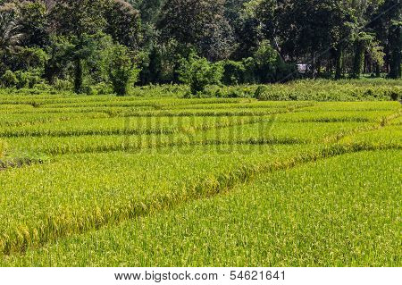 Golden Rice Field  In Chiangmai Thailand