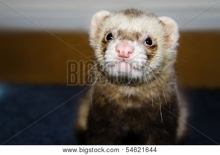 Cute Ferret Looking At Camera