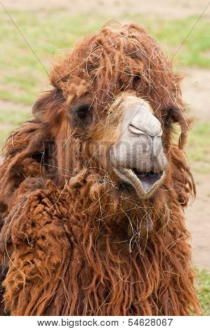 Portrait Of Funny Camel Close-up